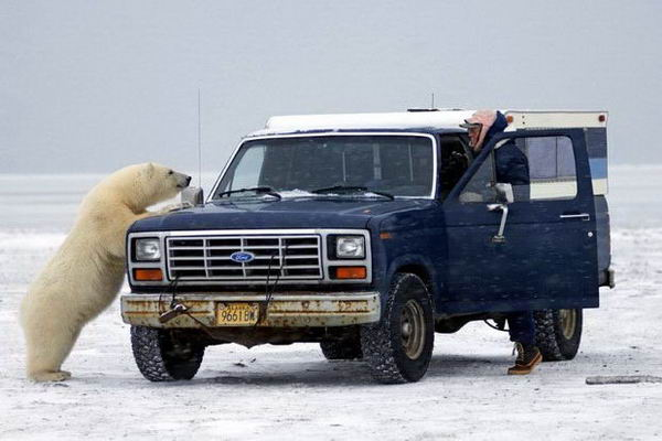 Белый медведь просится в машину 02