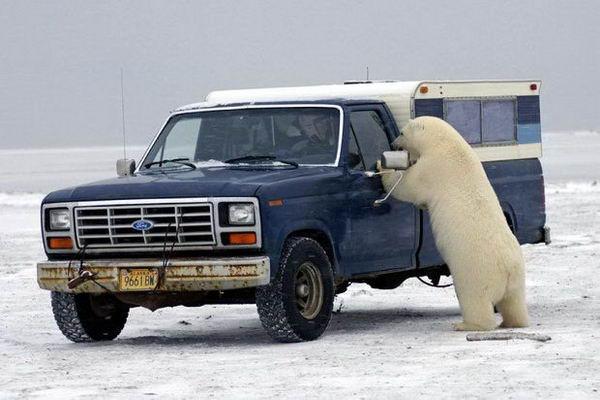 Белый медведь просится в машину 04