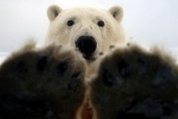 Белый медведь просится в машину 05