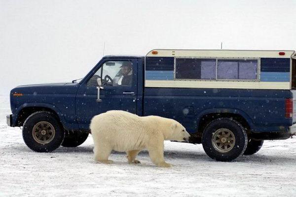Белый медведь просится в машину 07