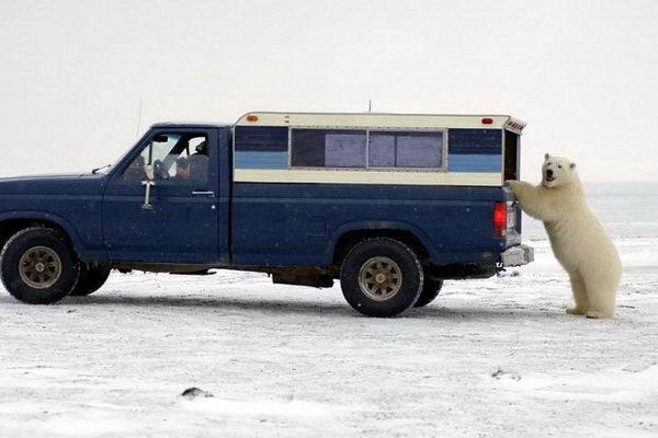 Белый медведь просится в машину 08