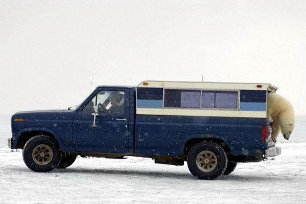 Белый медведь просится в машину 12