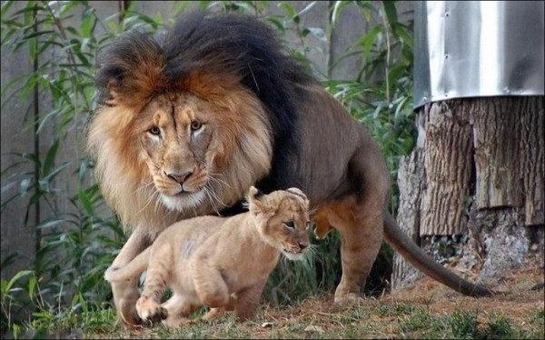 Львинные семейные дела 1