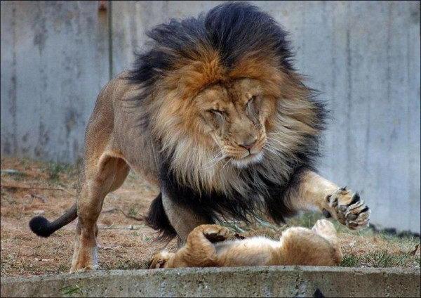 Львиные семейные дела 2