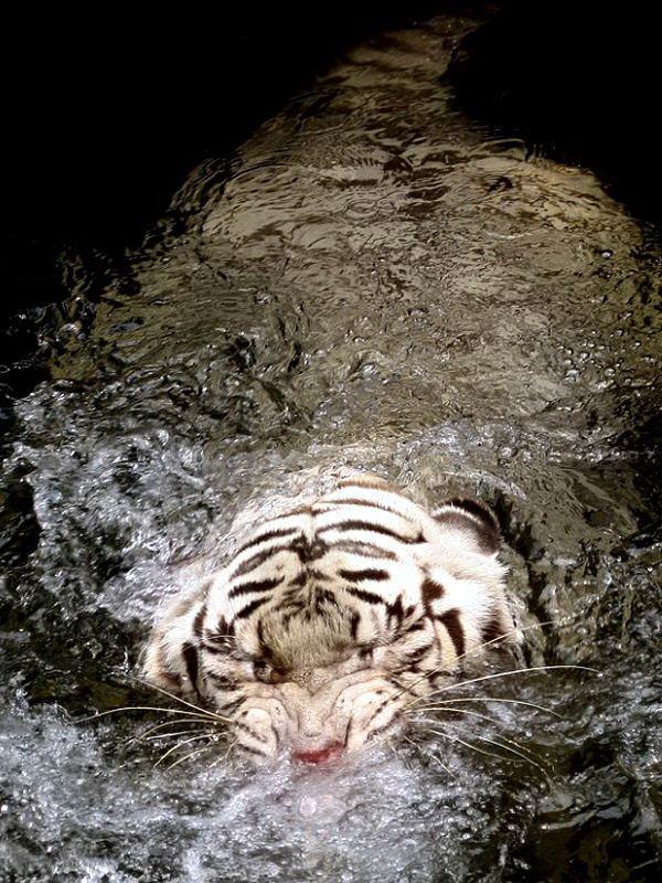 белые тигры 4 dobrosos