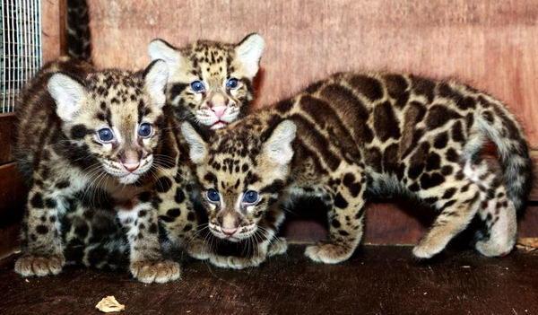 Красивый дымчатый леопард 3 dobrosos