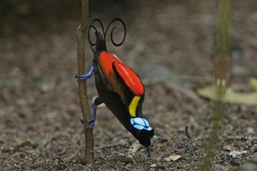 Необычно красивые птицы 09 dobrosos