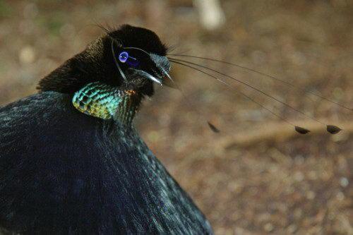 Необычно красивые птицы 14 dobrosos