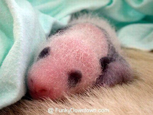 Рождение панды 07 dobrosos