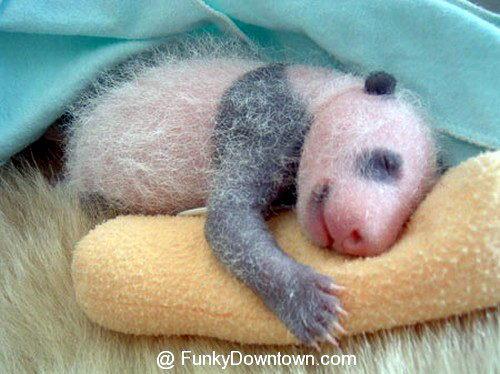 Рождение панды 08 dobrosos