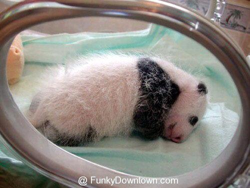 Рождение панды 09 dobrosos