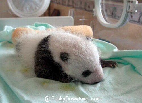 Рождение панды 10 dobrosos
