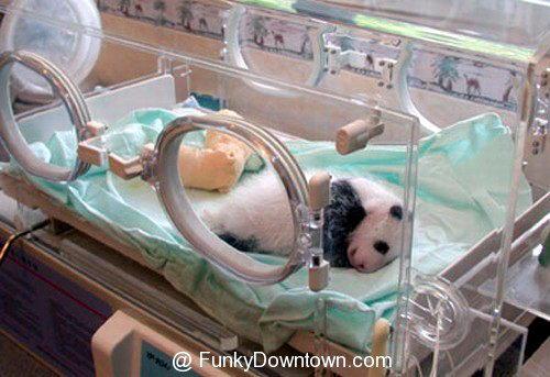 Рождение панды 11 dobrosos