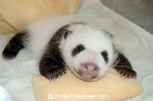 Рождение панды 14 dobrosos