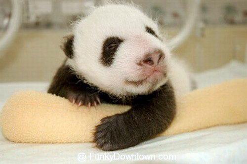 Рождение панды 15 dobrosos