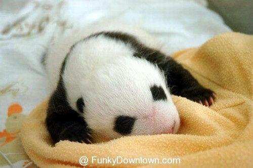 Рождение панды 16 dobrosos