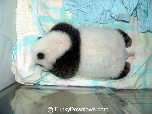 Рождение панды 17 dobrosos