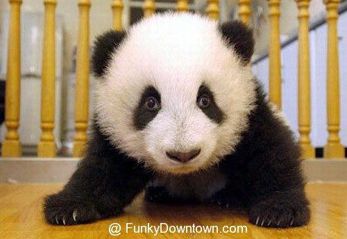 Рождение панды 18 dobrosos