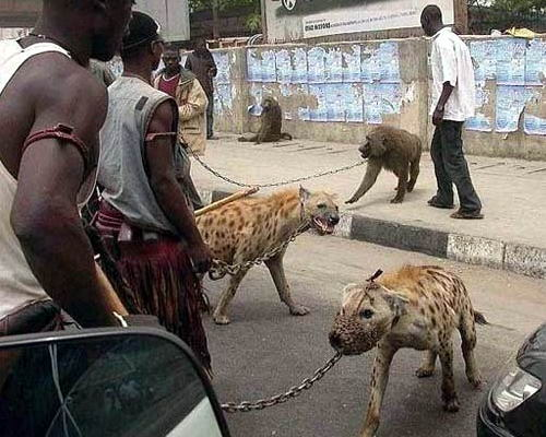 Домашние животные в Нигерии 04 dobrosos