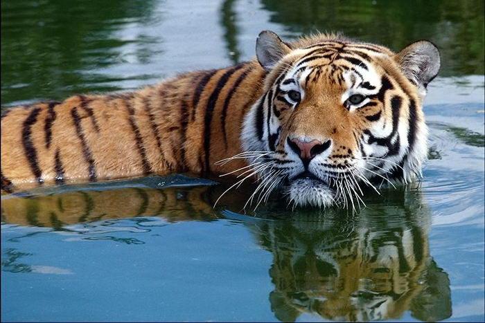 Тигры 004 dobrosos