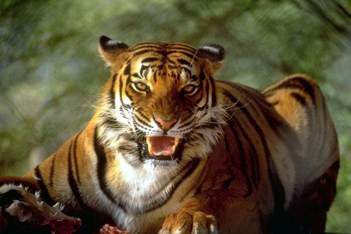Тигры 010 dobrosos