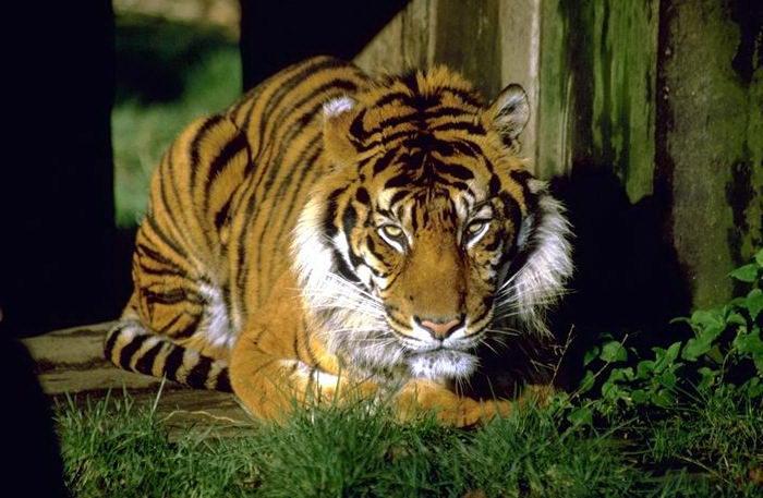 Тигры 014 dobrosos