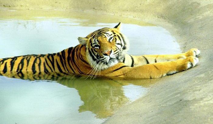 Тигры 015 dobrosos