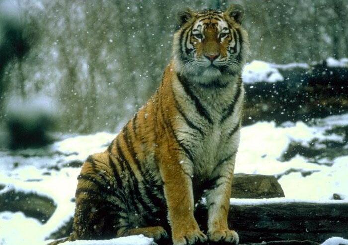 Тигры 016 dobrosos