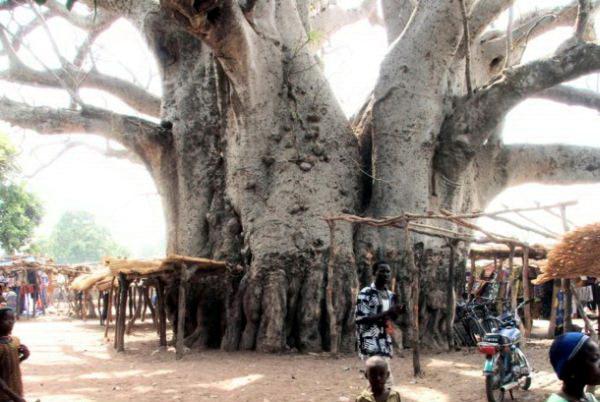 Необычные деревья 12 dobrosos