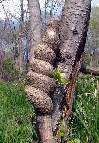 Необычные деревья 23 dobrosos