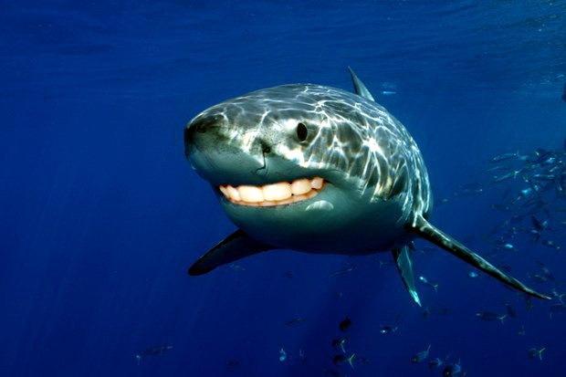 Акулы с человеческими зубами 05