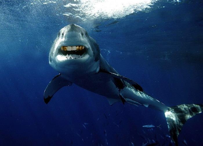 Акулы с человеческими зубами 13