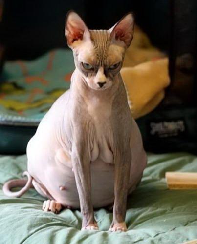 Беременные животные 01 Беременная кошка