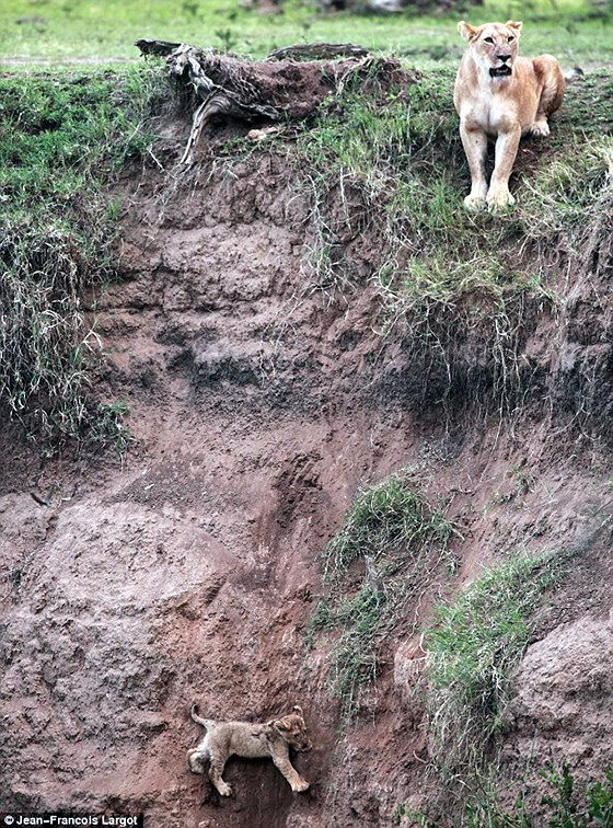 Львенок сорвался со скалы 1 Львенок упал вниз и зовет на помощь маму
