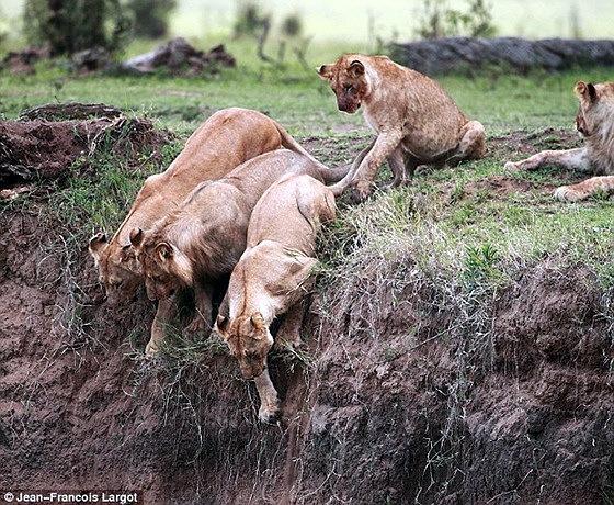 Материнская любовь (львенок сорвался со скалы)
