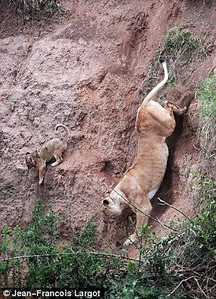 Львенок сорвался со скалы 3