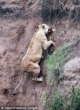 Львенок сорвался со скалы 4