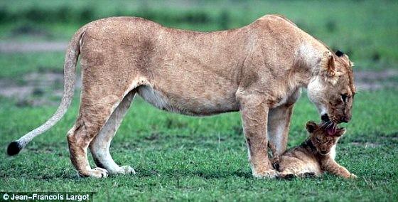 Львенок сорвался со скалы 5