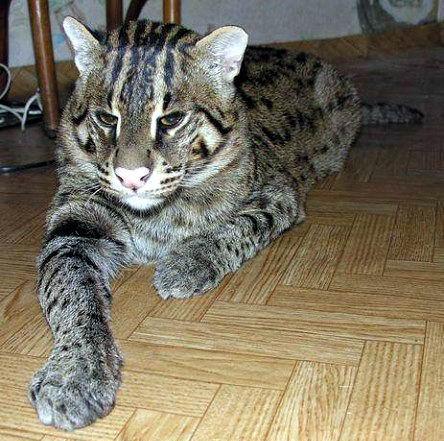 Огромный необычный кот 01