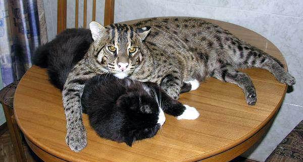Огромный необычный кот 03