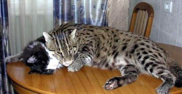 Огромный необычный кот 05