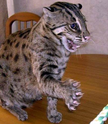 Огромный необычный кот (11 фото)