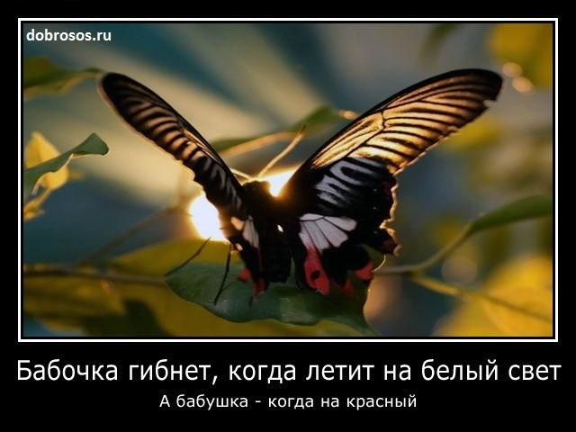 Бабочка гибнет, когда летит на белый свет: А бабушка - когда на красный