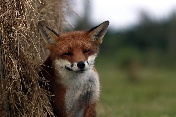 фотосессия лисы фото лисичка
