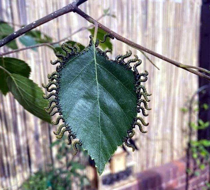 Как гусеницы едят этот лист